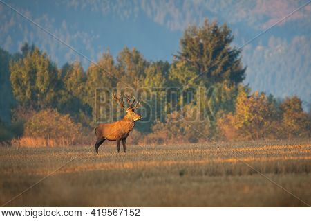 Majestic Red Deer Stag Standing On The Meadow In Autumn Morning