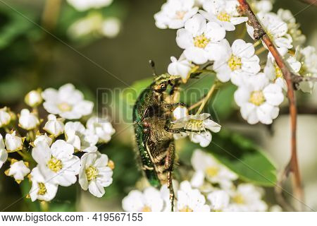 Insect Cetonia Aurata, On The Small, Snow-white Flowers Of Lobularia Maritima Alissum Maritimum.