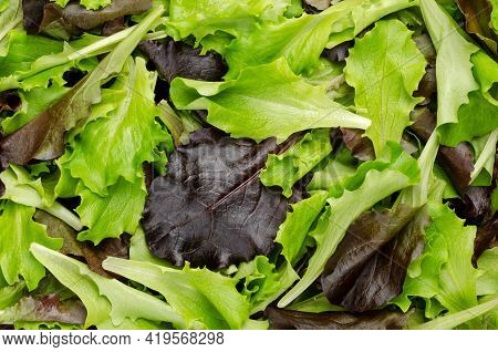 Fresh Picked Loose Leaf Lettuce, Red And Green Leaved Pluck Lettuce, Close-up From Above. Also Known