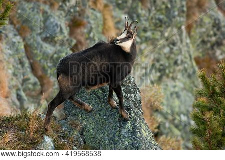 Tatra Chamois Climbing Rocks In Mountains In Autumn Nature