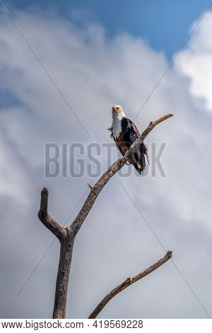 African Fish Eagle Perched On Tree Against Dramatic Sky, Haliaeetus Vocifer, Large Species Of Eagle