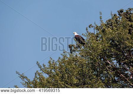 African Fish Eagle Perched On Tree, Haliaeetus Vocifer, Large Species Of Eagle Found Throughout Sub-