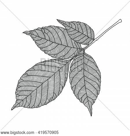 Stylized Ash Tree Leaf Line Drawing With Decorative Veining Isolated On White Background. Vector Ill