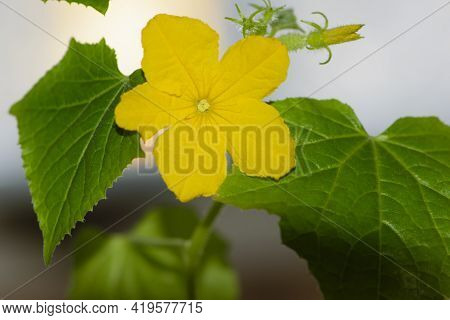 Yellow Flowers On Cucumber Isolated On White Background. A Small Sprout Of A Cucumber, Green Leaves