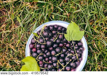 Bowl With Black Currants And Leaves On Grass Background. Close-up