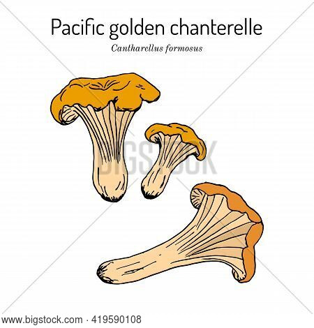 Pacific Golden Chanterelle Cantharellus Formosus , Official State Mushroom Of Oregon. Hand Drawn Bot