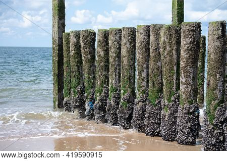 Group Of Live Mussels Clams Shellfish Growing On Wooden Poles At Low Tide In North Sea, Zoutelande,