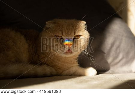 Pride Month, Lgbt Rainbow Symbol Concept. Scottish Fold Cat With A Colorful Rainbow Lgbt Colors Hear
