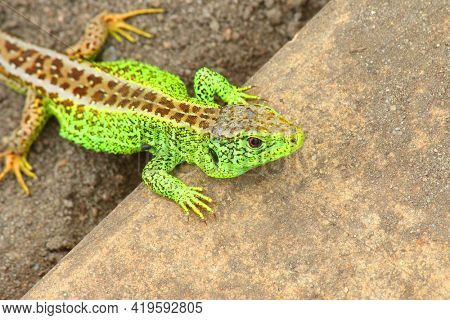 The Sand Lizard, Lacerta agilis male. This predator in gardens help remove pest insects.  Life in green house.
