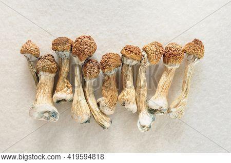 Psilocybe Cubensis Mushrooms On Ivory Background. Psilocybin Psychedelic Magic Mushrooms Golden Teac
