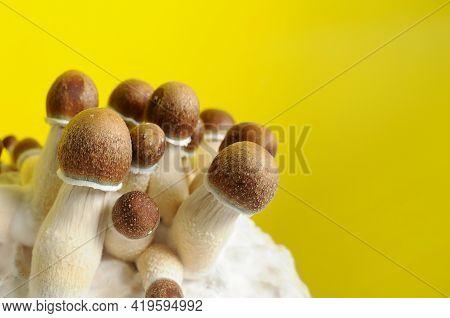 Mycelium Block Of Psychedelic Psilocybin Mushrooms Golden Teacher. Micro Growing Of Psilocybe Cubens