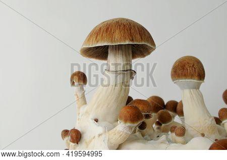 Psychedelic Psilocybin  Mushrooms Golden Teacher On Mycelium Block, Close-up. Psilocybe Cubensis Raw