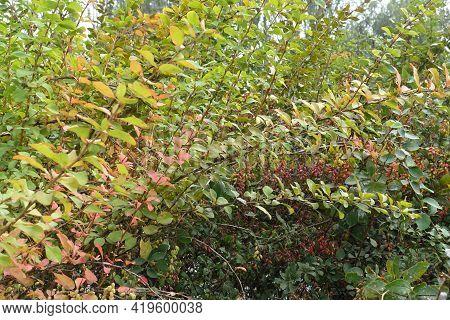 Leafage Of Berberis Vulgaris With Red Berries In September