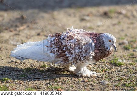 Little Beautiful Bird Pigeon. The Pigeon Teeth Grains On The Road.