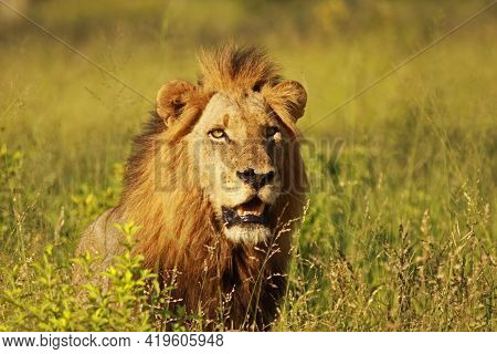 The Lion King Of Jungle, Also Known As The Southeast African Lion Or Kalahari Lion, Yawning Adult Ma