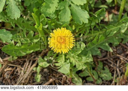 One Big Yellow Wild Dandelion Flower In Green Grass On Nature