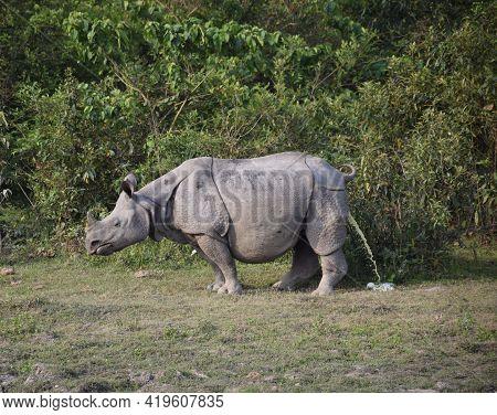 A One Horn Rhino Peeing At An Animal Safari Park