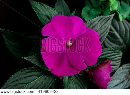 Purple Pink Lilac Violet Flower Green Leaves Macro One Top View