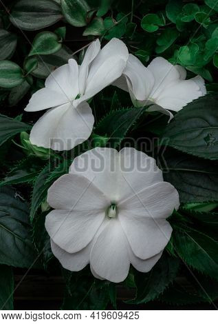 Small White Garden Flowers To Decorate Balconies And Terraces, Top View