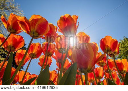 Bright Orange And Red Tulips Against Blue Sky And Sunlight Background. Colorful Spring Composition.
