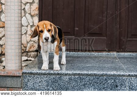 Beagle Personality, Temperament. Beagle Puppy At Home. Little Beagle Breed Dog Near Door His New Hou