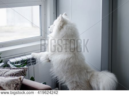 White Purebred Dog Looks Out  Window At  Street From Room. Samoyed