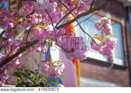 Blossom Tree With The Window And White Curtains