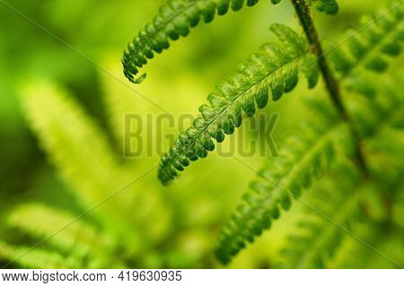 Macro Photography Of The Green Fern Leaf In The Forest.beautiful Natural Background,horizontal Photo