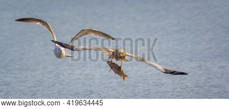 The Circus Aeruginosus Flew Away With A Large Fish That It Had Just Caught From The Water