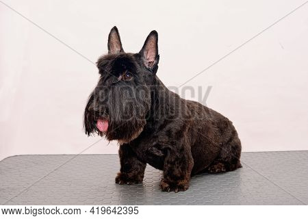 Scotch Terrier After Grooming On A White Background In An Animal Salon.