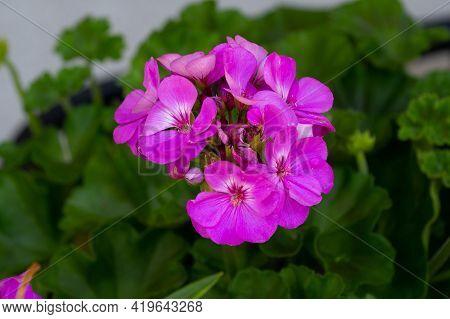 Pelargonium Geranium Bloom Nature Flower Color Botanical Summer