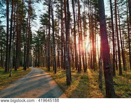 Asphalt Path In The Park Among Tall Pine Trees. Sunbeams And Tree Shadows. Sunset In The Coniferous