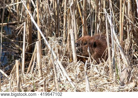 At The Edge Of A Pond, A North American Beaver (castor Canadensis) Is Hiding Among Dry Reeds.