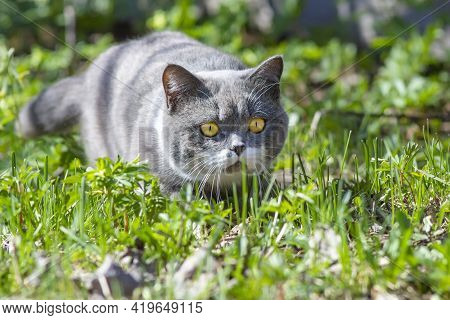 The Muzzle Of A Purebred Gray British Cat With Yellow Eyes, Which Focused On Hunting In Nature On Gr