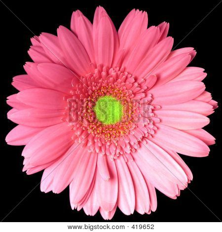 Single Pink Gerber Daisy Square