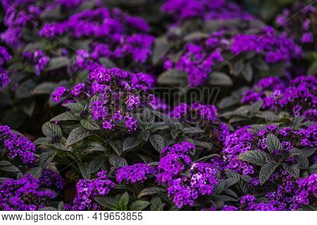 Close-up Beautiful Fresh  Royal Phlox Flower On A Background Of Green Grass Grows In A Home Garden,