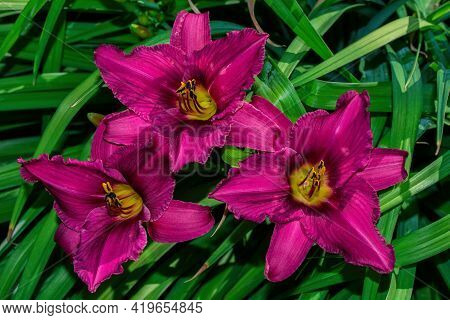 Pink-lilac Daylilies Flowers (latin: Hemerocallis) On Green Leaves Background In Floral Garden. Flow