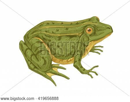 Big Adult Frog. Realistic Green Toad With Bulging Eyes. Amphibian Aquatic Animal Drawn In Detailed V