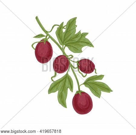 Fresh Ripe Passion Fruits And Leaves On Maracuja Tree Branch. Growing Passionfruits. Realistic Detai