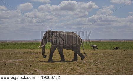 A Large African Elephant Walks On The Yellowed Grass Of The Savannah. Wildebeests Graze In The Dista