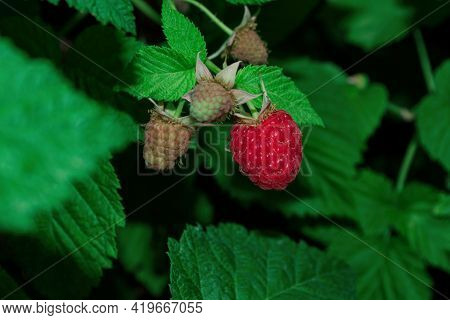 An Orchard. Ripe Raspberries (latin: Rubus Idaeus) On A Bush On A Background Of Green Leaves. Raspbe