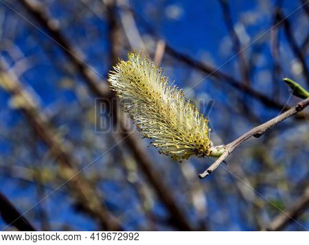 Blooming Willow Catkins On A Blue Sky Background, Macro