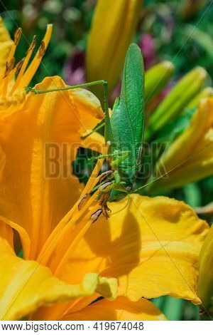 Green Grasshopper (latin: Tettigonia Viridissima) Sitting On A Flower Of The Daylily (latin: Hemeroc