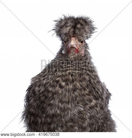 Head Shot Of Fluffy Cuckoo Silkie Chicken, Standing Facing Front, Looking Straight Ahead. Isolated O