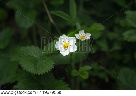 Strawberry Blooming Close-up In The Garden. Growing Ripe Garden Strawberries. Green Leaf Background,