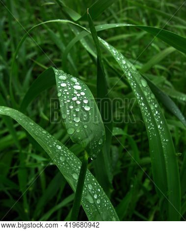 Green Leaves Of Wheat With Water Drops Close-up And Blur