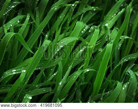 Fresh Green Wheat Grass Leaves With Dew Drops On Leaves