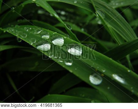 Close Up Water Drops On Dark Green Wheat Leaves With At Rainy Day