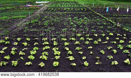 Young Fresh Green Bean Plants In A Vegetable Garden Planted In Neat Rows N Rich Fertile Soil