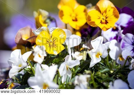 A Portrait Of A Yellow And Brown Viola Flower Standing Between Other Yellow, White And Purple Plants